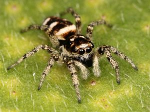 large, fuzzy spider with yellow stripes
