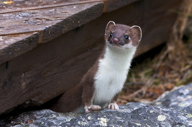 weasel peeking from under a wooden deck