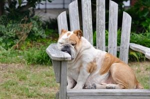 sleepy bulldog on a beach chair