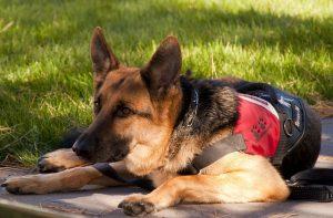 german shepherd service dog lying down