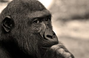 gorilla lost in thought