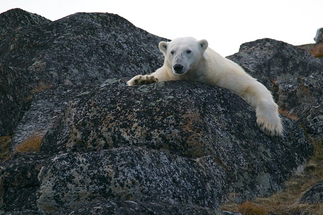 polar bear resting on boulder